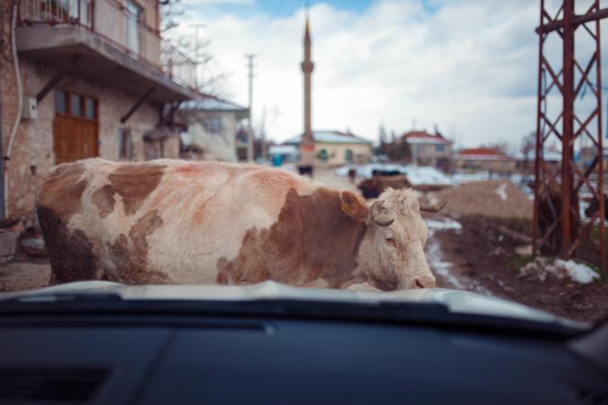 inek fotoğrafı